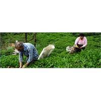 Çaykur: 653 Bin Ton Yaş Çay Yaprağı Alındı