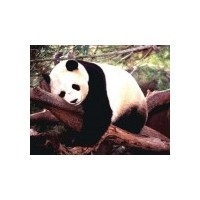 Hip Hopçı Panda