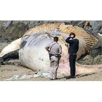 21 metrelik hamile mavi balina, kıyıya vurdu