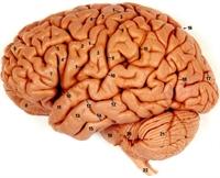 Yetişkin Bir İnsan Beyninin Ağırlığı Ne Kadardır ?