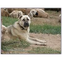 Çobanın Dostu | Kangal Köpekleri