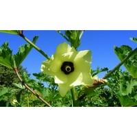 Bamya Çiçeği Bitkisinin Faydaları