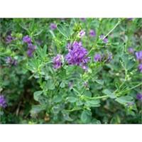 Antioksidanlar: Alfalfa