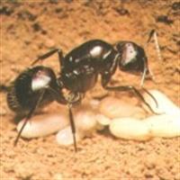 Karınca Yumurtası Yağı Nedir?