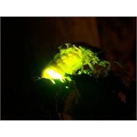Ateş Böceği Nasıl Işık Saçıyor ?