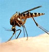 Sivrisinek Isırınca Neden Kaşınmaya Başlarız ?