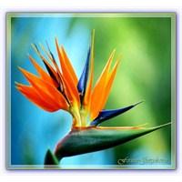 Turna Gagası | Cennet Kuşu Çiçeği