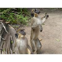 Beş Maymun Deneyi