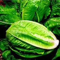 Şifalı Bitkiler - Marul Ve Faydaları