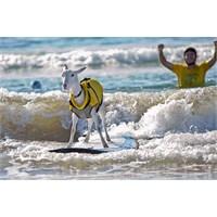 Keçi Goatee'nin Surf Keyfi
