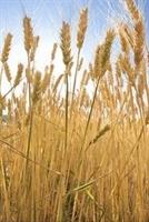 Buğday In Faydaları