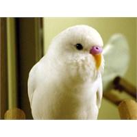 Muhabbet Kuşu Dışkısından Hastalık Tahlili