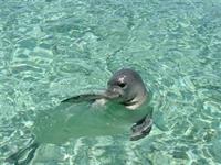 Akdeniz Foku İçin  mazot  Aranıyor