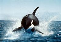 Katil Balinalar Deniz Aslanı Avlıyo