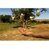 Argan, Keçilerin Ağacı