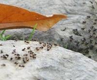 Karıncaların Trafik Bilgisi Kazaları Önleyecek!