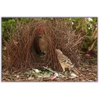 Dekoratör Kuş Çardak Kuşu (Amblyornis)
