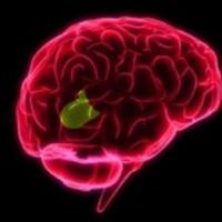 Beynin Dil İle Bağlantılı Bölümü İnceleniyor