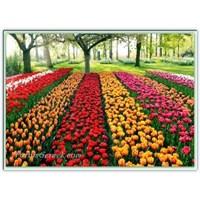 Lale Zamanı   Çiçek Parkı   Hollanda