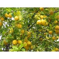 Limon Ağacı Ve Kıskançlık