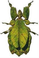Yapraga Benzeyerek Kamuflaj Yapan Böcek - Eophylli