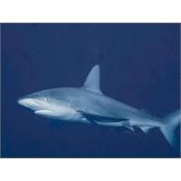Doğa , Tpao, Köpekbalıkları