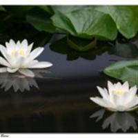 Zakkum Çiçeği Faydaları
