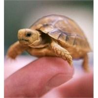 Su Kaplumbağaları Mikrop Saçıyor