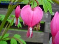 Kız Kalbi - Ağlayan Kalpler Çiçeği