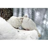 Bembeyaz İki Güvercin