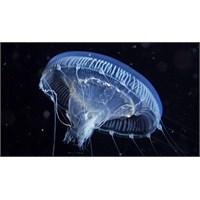 20 Yıldır Uzay'da Denizanası Yetiştiriyoruz