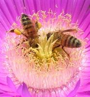 Arı Sutu Ve Polenın Saglıga Etkılerı