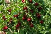 Ağacın Kendisi De Meyvesi De Şifa Kaynağı