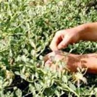 Şifalı Bitkilere İlk Artıyor