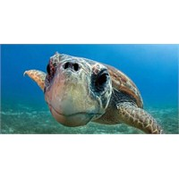 Caretta Caretta Kaplumbağaları