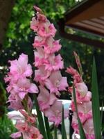Boru Çiçeği Nin Faydaları