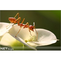 Karıncanın gen haritası tamam