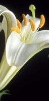 Zambak Çiçeği Ve Zambağın Faydaları
