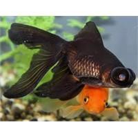 Japon Balıkları Nasıl Çiftleşir?