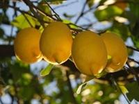 Limonun Faydası Saymakla Bitmiyor