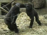 Goriller Neden  elim Sende  Oynar?