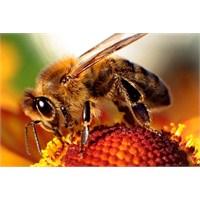 Arılar Olmazsa, İnsanlar'da Olmaz!