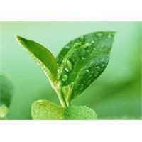 Siyah Çay Ve Yeşil Çay Arasındaki Farklar