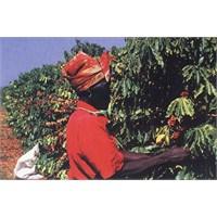 Zimbabwe'li Kahve Üreticileri Zorda