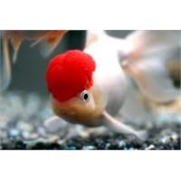 Japon Balığı Hakkında Geniş Bilgi
