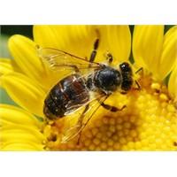 Arı Sokmalarında İlk Yardım Ve Öneriler