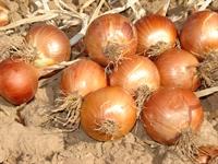Salgın Hastalıklara Karşı Sebze