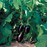 Şifalı Bitkiler - Patlıcan Ve Faydaları
