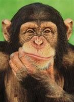 Şempanzeler Yönetmen Koltuğunda