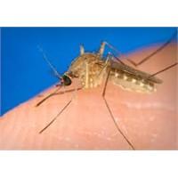 Sivrisinek, Fena Bir Sinek